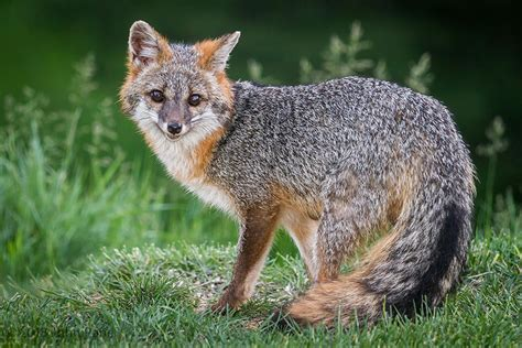 7 Of The Most Beautiful Fox Species In The World