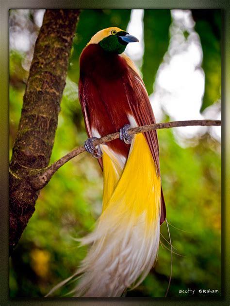 bird of paradise birds of paradise in indonesia investvine