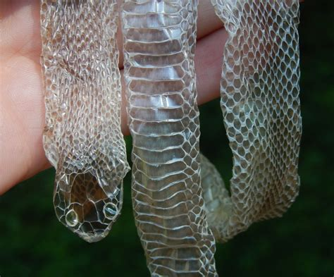 shedded snake skin preservation 28 shed snakeskin black king snake
