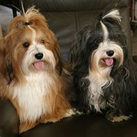 1000 ideas about havanese grooming on pinterest