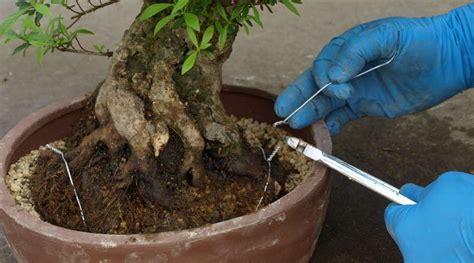 bonsai umtopfen anleitung bonsai erstaunlich bonsai umtopfen anleitung in bezug auf zum b 228 umen ausgezeichnet bonsai