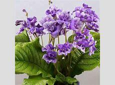 Streptocarpus Blue Frills All Flower Plants Flower
