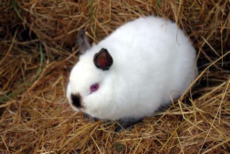 les lapins nains lapins nac et oiseaux