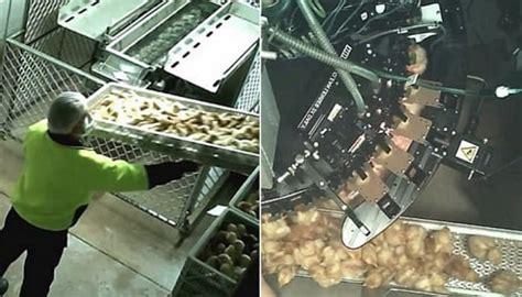 卵 ひよこ シュレッダー