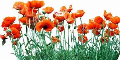 Clipart Poppy Poppies Orange Bed Transparent Flores