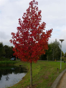 amberboom kopen liquidambar styraciflua worplesdon amberboom de