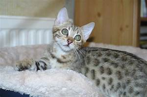 Brown spotted Bengal Male kitten available 16 week ...