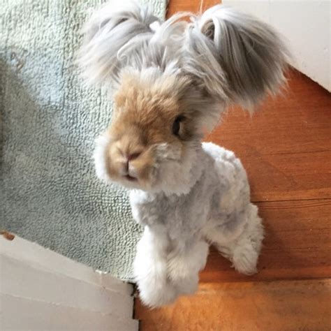 meet wally  english angora rabbit