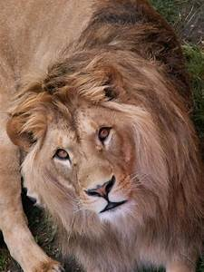 Let U0026 39 S Draw Endangered Species       Barbary Lion