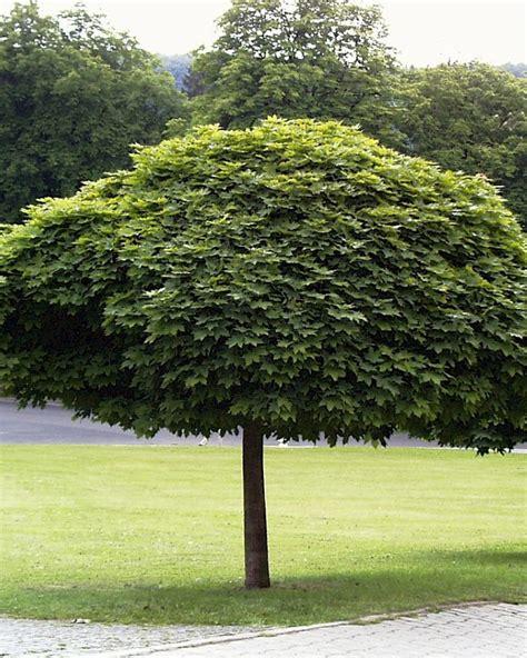acer platanoides globosum acer platanoides globosum den berk nurseries