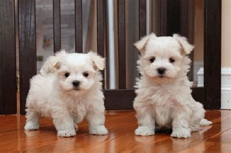 do yorkie poos bark a lot 17 best ideas about yorkie poo for sale on
