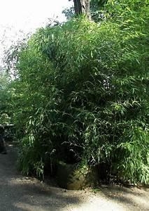 11 Pflanzen Methode : bambus ist eine immergr ne gartenpflanze garten pflanzen ~ Lizthompson.info Haus und Dekorationen