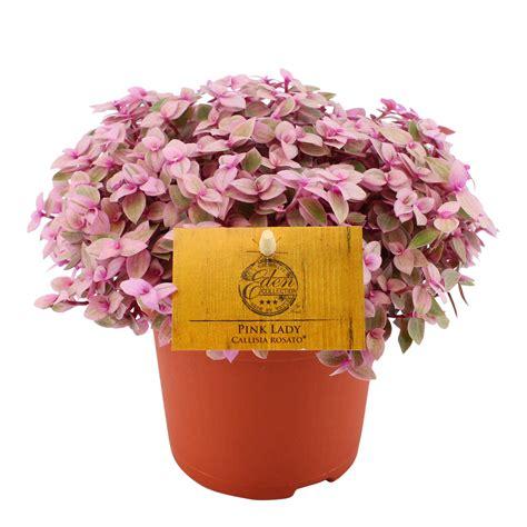 callisia bloemen callisia rosato pink lady eden collection smit