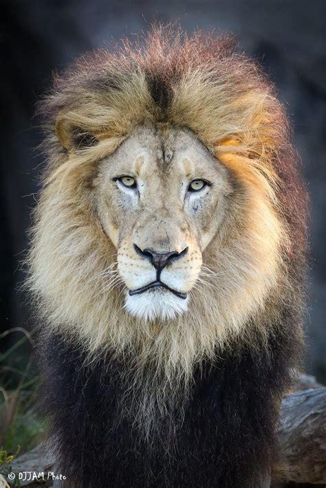 african lion cincinnati zoo botanical garden