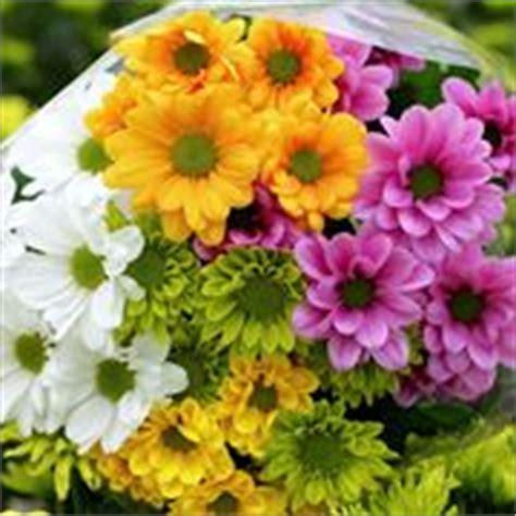 fiori perenni resistenti al gelo crisantemo chrysanthemum piante perenni come