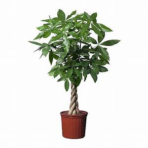 PACHIRA AQUATICA Potted plant - IKEA