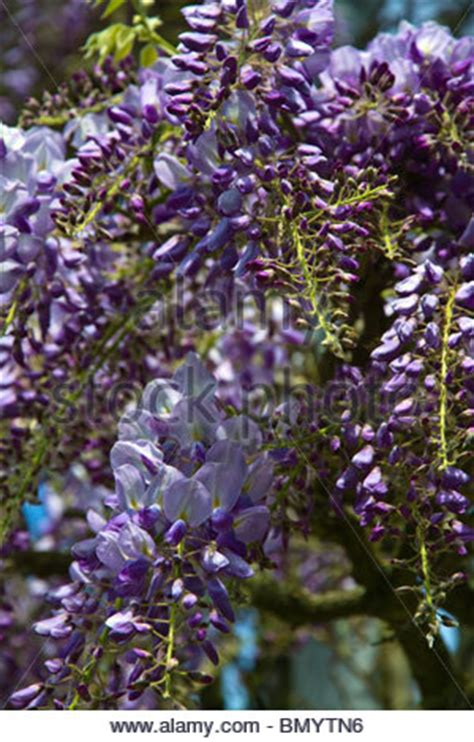 copy right free pictures of purple wisteria beautiful purple wisteria wisteria sinensis growing against a stock photo royalty free