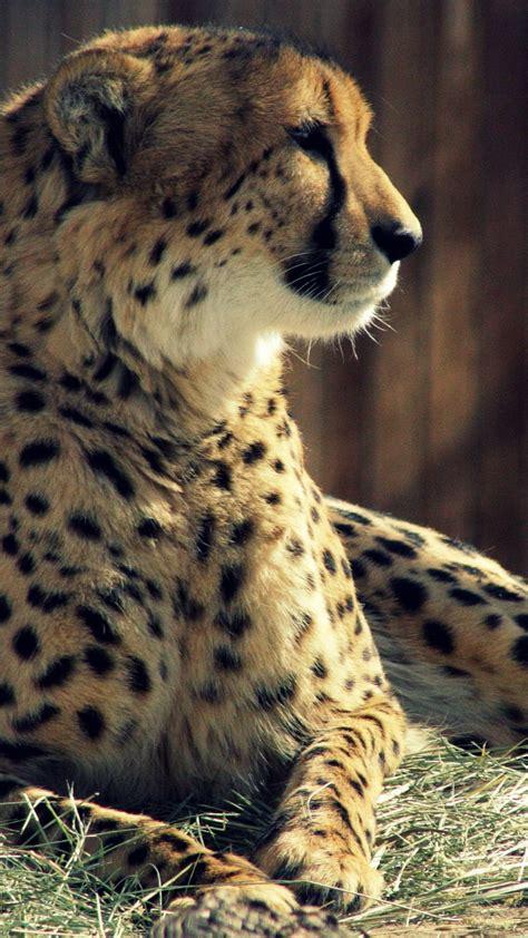 animals wallpapers cheetah animal mobile wallpaper