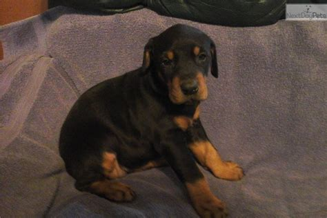 doberman pinscher puppy  sale  southern illinois