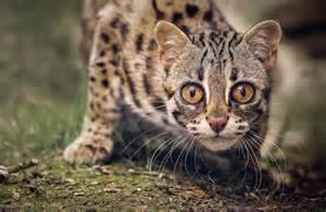 leopard cat for leopard cat 15 pictures cat dompict