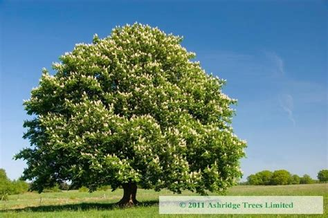 chestnut trees in horse chestnut trees for sale online aesculus hippocastanum