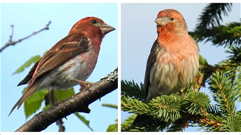 house finch song purple finch and house finch 2 songs