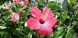 How To Grow Hibiscus Today39s Homeowner