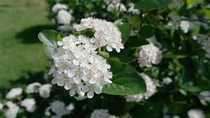 Pflanzen Im Mai : aronia pflanzen bl hen im mai f r 10 tage bl te wie beim apfel ~ Buech-reservation.com Haus und Dekorationen