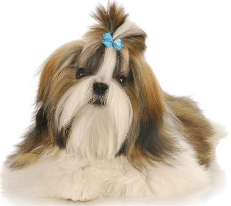 shih tzu shedding top 30 dogs that don t shed small medium and large breeds