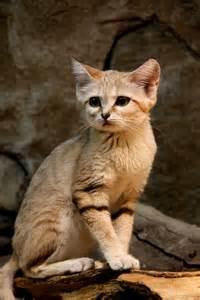 sand cat for felis margarita the sand cat ego alterego