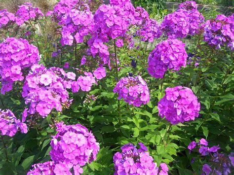 pictures of phlox flowers phlox wikipedia