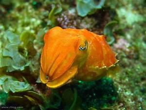 Real Monstrosities: Reaper Cuttlefish