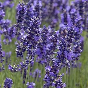 Lavendel Pflanzen Im Topf : lavendel sorten winterhart lavendel winterhart heil und ~ Michelbontemps.com Haus und Dekorationen