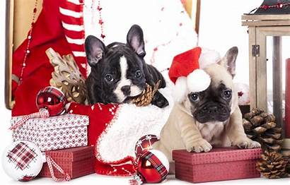 Puppies Christmas Bulldog French Dogs Animals Bumps