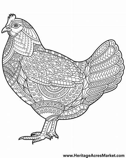 Coloring Chicken Funky Adult Sketsa Ayam Printable