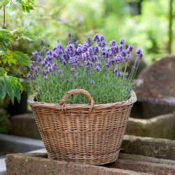 lavande en pot lavande une plante facile au jardin ou en pot en terrasse
