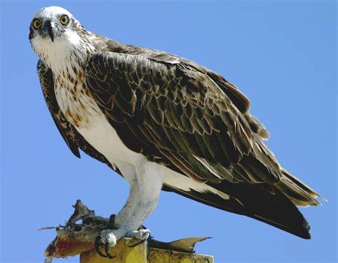 CalPhotos: Pandion cristatus; Eastern Osprey