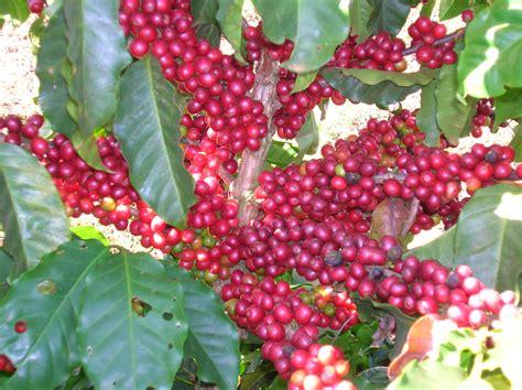 Arabica Coffee Beans Death Wish Coffee Alcohol Label Bulletproof Thailand Vs Elevate Italia Diet Weight Loss Store Locator Las Vegas