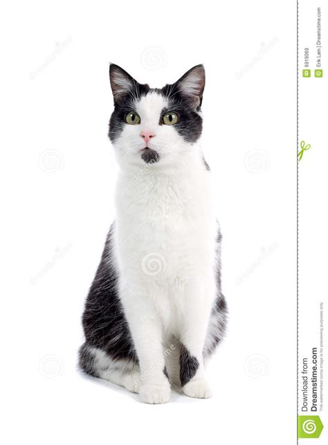 cute black  white cat royalty  stock images image