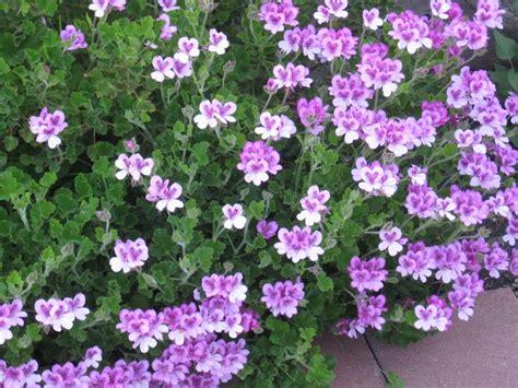 fragrant geranium scented geraniums geraniums zonal martha washington etc pelargo
