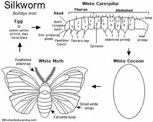 Silkworm Informative Worksheet And Diagram  Great To Use