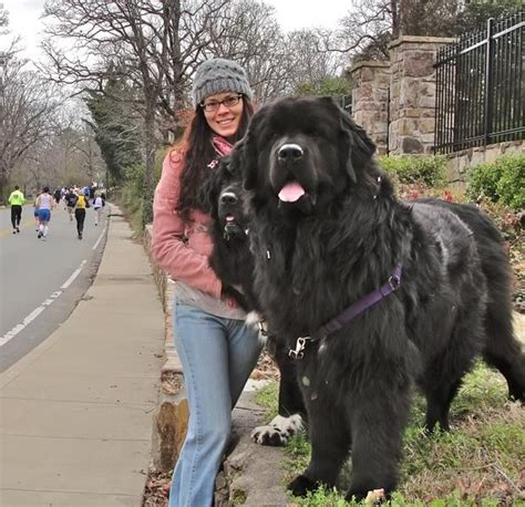 Do Newfoundlands Shed More Than Labs by Best 25 Newfoundland Dogs Ideas On Fluffy