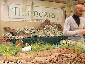 Tillandsia, la pianta che vive senza terra e con poca acqua a Curiosa in fiera