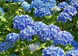 blaue hortensie sorgt fur eine prachtige farbe im garten With französischer balkon mit blaue pflanzen für den garten