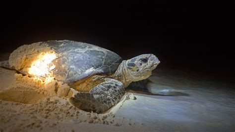 hawksbill turtles rare good news   imperiled species