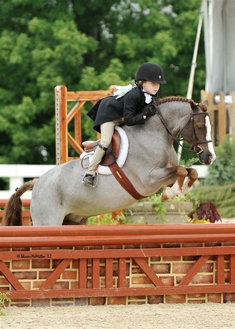 pony welsh jumping ponies cute jumper roan horses horse hunter mountain jumpers young hunters form beatuiful jump cross costumes courses