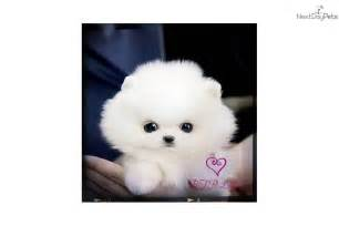 Baby White Teacup Pomeranian Puppies