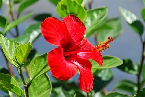 contoh deskripsi tentang bunga kembang sepatu  bahasa