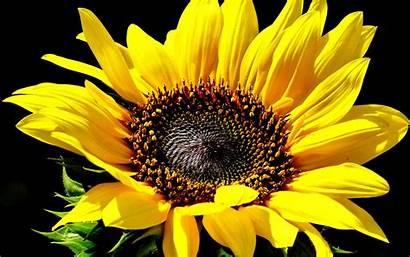 Sunflowers Flowers Desktop Wallpapers Backgrounds Mobile Wallup