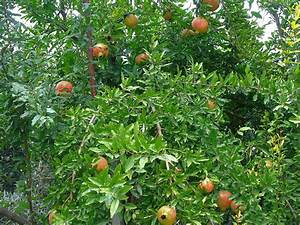 Growing Pomegranate From Seeds – How To Plant A ...